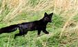 홋카이도에 나타난 희귀 '검은 여우'